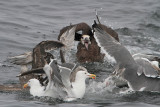 Black-footed Albatross and Western Gulls