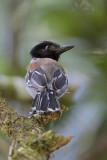 Black-crested Antshrike