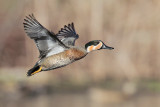 Blue-winged x Green-winged Teal Hybrid