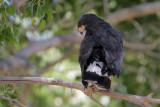 Common Black-Hawk
