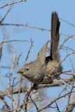 True Warblers, Parrotbills & Wrentit