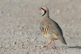 Pheasants & Partridges