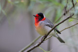 Birding Utah and Arizona, Eared Grebes and Red-faced Warblers 09-08-2012