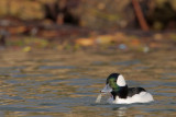 Bufflehead eating shrimp