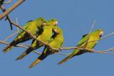 Green Parakeet