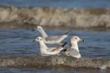 Ring-billed Gull and Bonaparte's Gulls