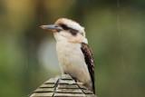 Kookaburra Kurrajong