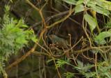 The very shy and beautiful sounding Australian Bellbird