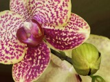 Phalenopsis Orchid and Bud (painting oil effect)