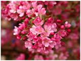 Pink Spring Blossums