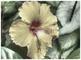 Yellow Hibiscus BW Painterly Color