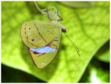 Olivewing, Obrinus Butterfly