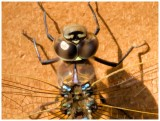 Dragonfly portrait