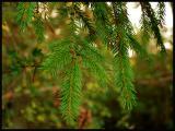 Hanging Pine