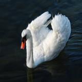 Swans' metaphor...