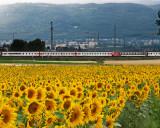 Sunflowers 83