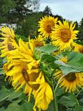Sunflower 84