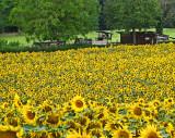 Sunflower 86