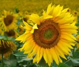 Sunflower 87