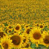 Sunflower 88