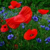 Poppies 37