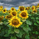 Sunflower 89