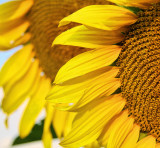 Sunflower 93