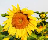 Sunflower 94