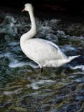 Swans 22