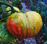 A chinese lantern for snails?