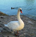 Swans 24