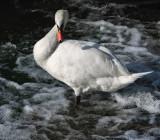 Swans 25