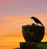 The crow's breakfast