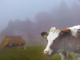 Draw me a cow in the fog
