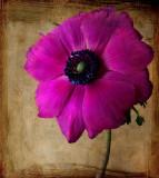 Proud anemone