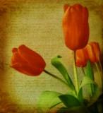 The tulip's petals shine in dew...