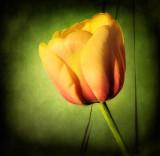 Secret tulip...