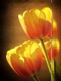 Shy tulips....