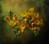 Freesia out of darkness