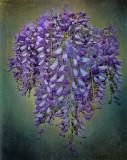 Pensive wisteria...