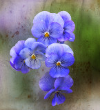 Shy violets