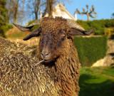 Phlegmatic goat...