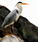 Unconscious loneliness of a heron