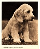 A Clumber Puppy in a Pensive Mood.jpg