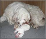 Little Helen x Vojtik puppies  111223 001.jpg