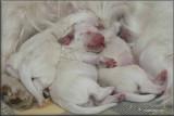 Little Helen x Vojtik puppies  111224 002.jpg