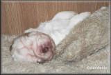 Little Helen pups  120108 015.jpg