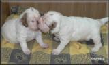 Little Helen pups  120112 003.jpg