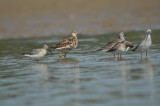 Reeve, Stilt Sandpiper, and Lesser Yellowlegs