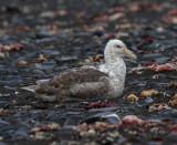 Southern-Giant-Petrel-IMG_7706-adult-on-beach-Hannah-Point-Deception-Island-South-Shetland-15-March-2011.jpg